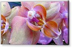 Pink Limonaid Orchids Macro Acrylic Print by Danielle  Parent