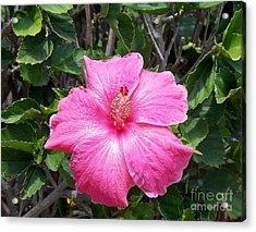 Pink  Acrylic Print by Mindy Sue Werth