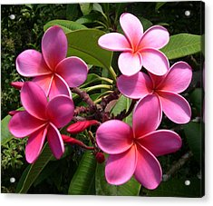 Pink Plumeria Acrylic Print by Claude McCoy