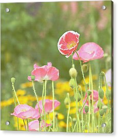 Pink Poppies Acrylic Print by Kim Hojnacki