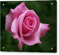 Pink Rose Perfection Acrylic Print by Rona Black