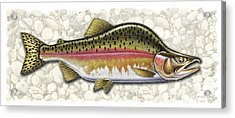 Pink Salmon Spawning Phase Acrylic Print by JQ Licensing