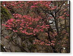Pink Spring - Dogwood Filigree And Lace Acrylic Print by Georgia Mizuleva