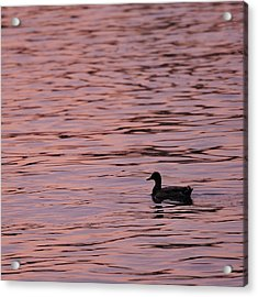 Pink Sunset With Duck In Silhouette Acrylic Print by Marianne Campolongo