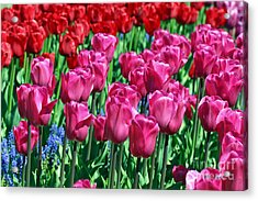 Pink Tulips Acrylic Print by Tap  On Photo