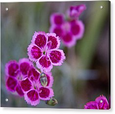 Pinks Acrylic Print by Frank Tozier