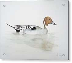 Pintail Duck Acrylic Print by Ele Grafton