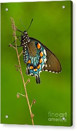 Pipevine Swallowtail Acrylic Print by Anthony Heflin