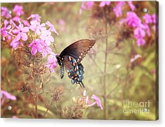 Pipevine Swallowtail Butterfly Acrylic Print by Lena Auxier