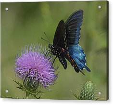 Pipevine Swallowtail Visiting Field Thistle Din158 Acrylic Print by Gerry Gantt