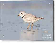 Piping Plover II Acrylic Print by Clarence Holmes