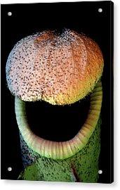 Pitcher Plant Trap Acrylic Print by Stefan Diller