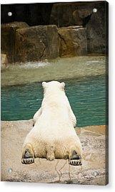 Playful Polar Bear Acrylic Print by Adam Romanowicz