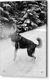 Playing In The Snow Acrylic Print by Carol Groenen