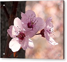 Plum Blossoms Acrylic Print by Rona Black