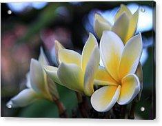 Plumeria Frangipani Sunshine Lei Acrylic Print by Karon Melillo DeVega