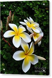 Plumeria In The Sunshine Acrylic Print by Kaye Menner