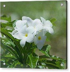 Plumeria - Tropical Flowers Acrylic Print by Kim Hojnacki