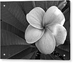 Plumeria With Raindrops Acrylic Print by Shane Kelly