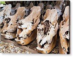 Poached Rhino Skulls Display Acrylic Print by Peter Chadwick