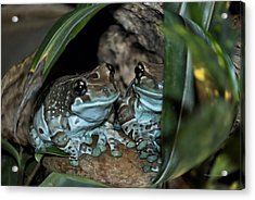 Poisonous Frogs With Sticky Feet Acrylic Print by Thomas Woolworth