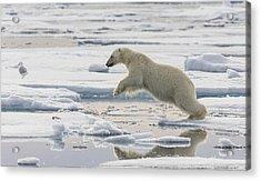Polar Bear Jumping  Acrylic Print by Peer von Wahl