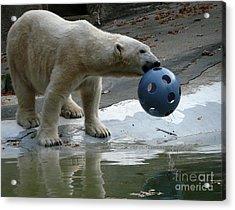 Polar Bear Play Acrylic Print by Avis  Noelle