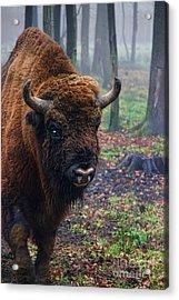 Polish Bison Acrylic Print by Mariola Bitner