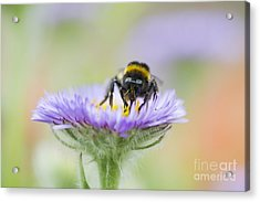 Aster Acrylic Print featuring the photograph Pollinator  by Tim Gainey