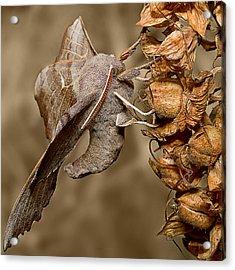 Poplar Hawk Moth Acrylic Print by Mr Bennett Kent