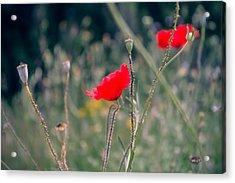 Poppies Acrylic Print by Jane M