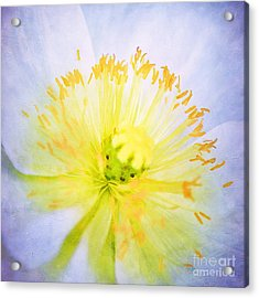 Poppy Close Up Acrylic Print by Darren Fisher