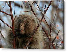 Porcupine And Berries Acrylic Print by Marty Fancy