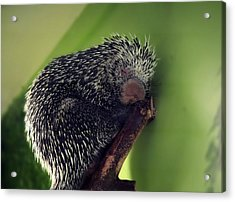 Porcupine Slumber Acrylic Print by Melanie Lankford Photography