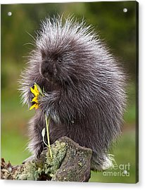Porcupine With Arrowleaf Balsamroot Acrylic Print by Jerry Fornarotto