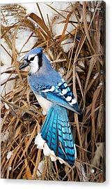 Portrait Of A Blue Jay Acrylic Print by Bill Wakeley