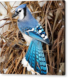 Portrait Of A Blue Jay Square Acrylic Print by Bill Wakeley