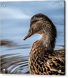 Portrait Of A Duck Acrylic Print by Bob Orsillo