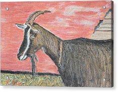 Portrait Of A Goat Acrylic Print by Renee Helin