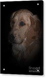 Portrait Of A Golden Acrylic Print by Bianca Nadeau