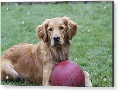 Portrait Of A Golden Retriever Acrylic Print by Kimberly Davidson
