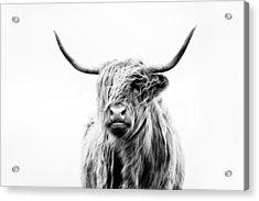 Portrait Of A Highland Cow Acrylic Print by Dorit Fuhg