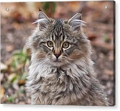Portrait Of A Maine Coon Kitten Acrylic Print by Rona Black
