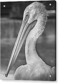 Portrait Of A Pelican Acrylic Print by Jon Woodhams