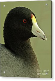 Portrait Of An American Coot Acrylic Print by Robert Frederick