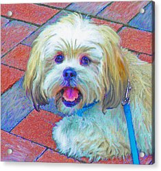 Portrait Of Shih Tzu Acrylic Print by Jane Schnetlage