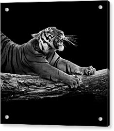 Portrait Of Tiger In Black And White Acrylic Print by Lukas Holas