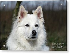 Portrait White Samoyed Dog Acrylic Print by Dog Photos
