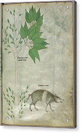Pplant And A Boar Acrylic Print by British Library