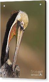 Preening Pelican Acrylic Print by Bryan Keil
